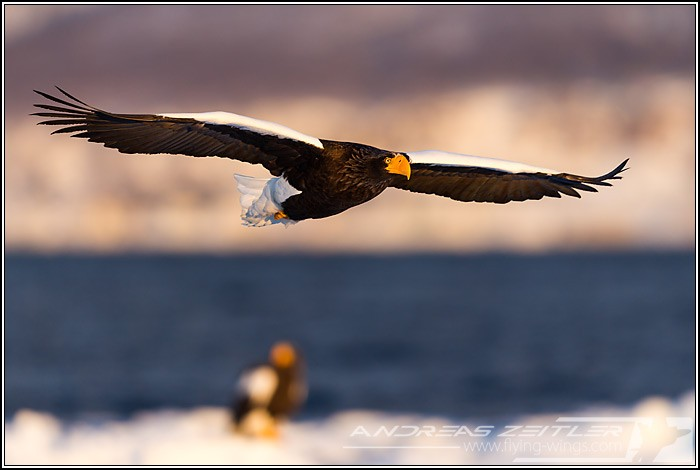 0Sea Eagles At Rausu%2C Hokkaido%2C Japan Eagles 3 Zeitler 10 700 470 90