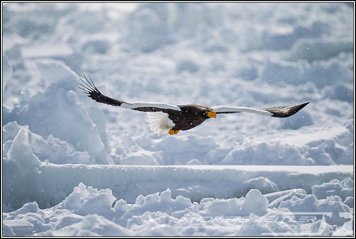 Sea Eagles At Rausu%2C Hokkaido%2C Japan Eagles 2 Zeitler 19 700 470 90