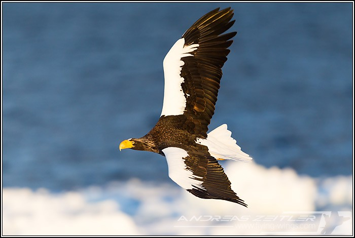 Sea Eagles At Rausu%2C Hokkaido%2C Japan Eagles 3 Zeitler 13 700 470 90