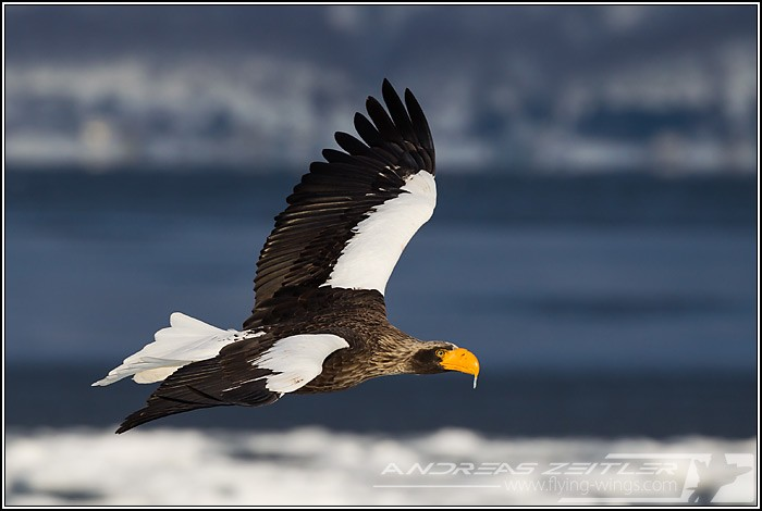 Sea Eagles At Rausu%2C Hokkaido%2C Japan Eagles 4771 Zeitler 700 470 90