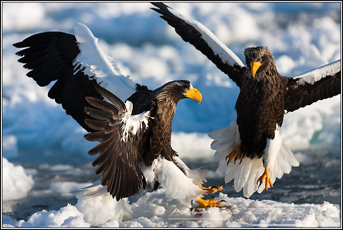 Sea Eagles At Rausu%2C Hokkaido%2C Japan Eagles 6920 Zeitler 700 470 90