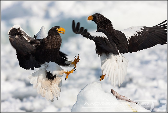 Sea Eagles At Rausu%2C Hokkaido%2C Japan Eagles 7202 Zeitler 700 470 90