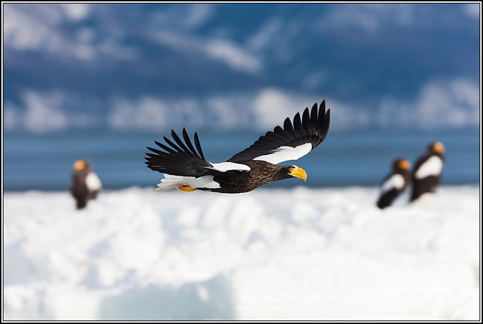 Sea Eagles At Rausu%2C Hokkaido%2C Japan Eagles 7212 Zeitler 700 470 90