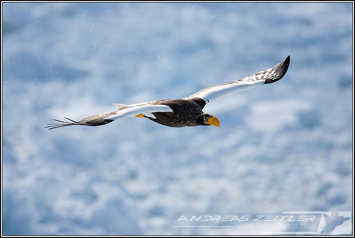 Sea Eagles At Rausu%2C Hokkaido%2C Japan Eagles 7717 Zeitler 700 470 90