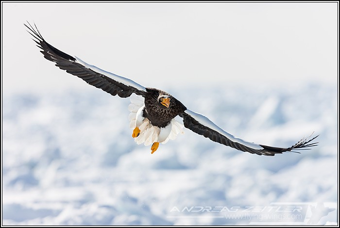 Sea Eagles At Rausu%2C Hokkaido%2C Japan Eagles 8143 Zeitler 700 470 90