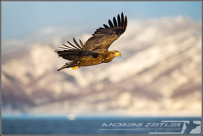 Sea Eagles At Rausu%2C Hokkaido%2C Japan Eagles 3 Zeitler 19 700 470 90