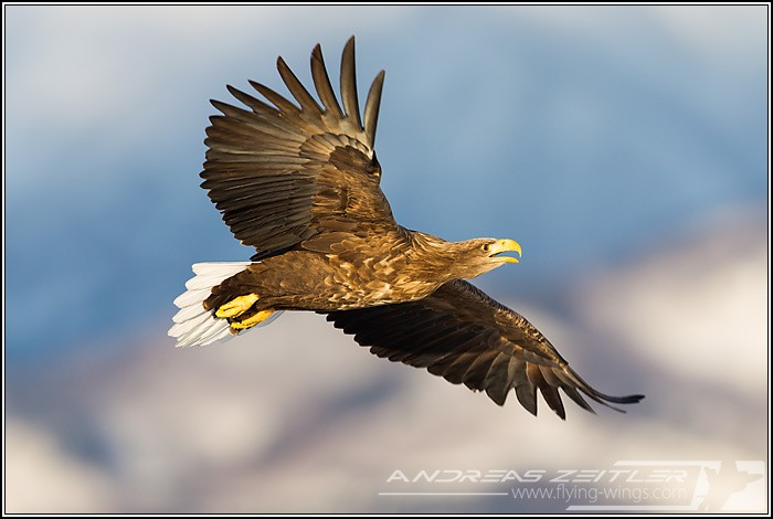 Sea Eagles At Rausu%2C Hokkaido%2C Japan Eagles 3 Zeitler 31 700 470 90