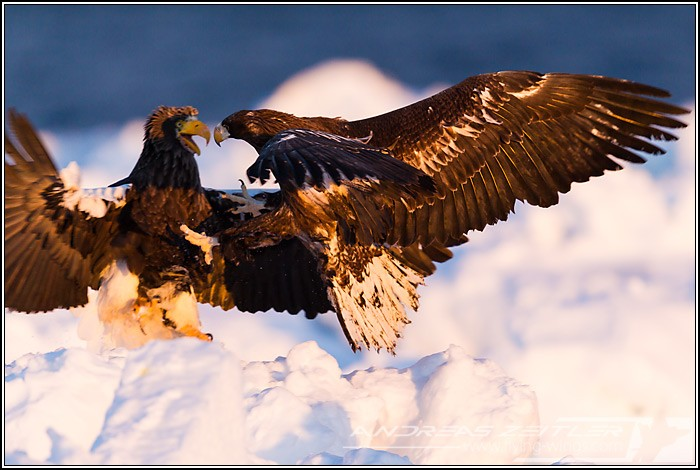 Sea Eagles At Rausu%2C Hokkaido%2C Japan Eagles 3 Zeitler 7 700 470 90