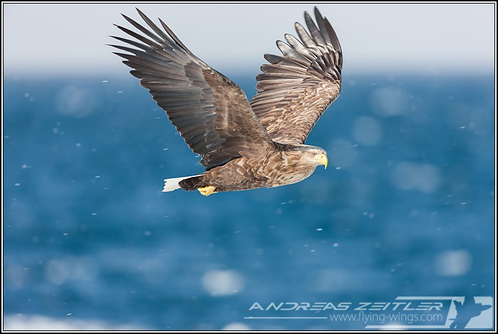 Sea Eagles At Rausu%2C Hokkaido%2C Japan Eagles 7902 Zeitler 700 470 90