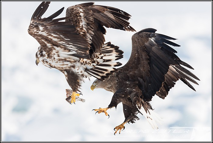 Sea Eagles At Rausu%2C Hokkaido%2C Japan Eagles 8131 Zeitler 700 470 90