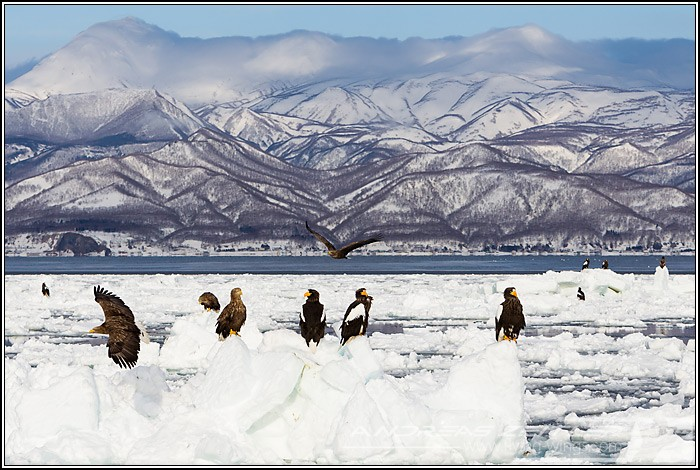 Sea Eagles At Rausu%2C Hokkaido%2C Japan Eagles 4921 Zeitler 700 470 90